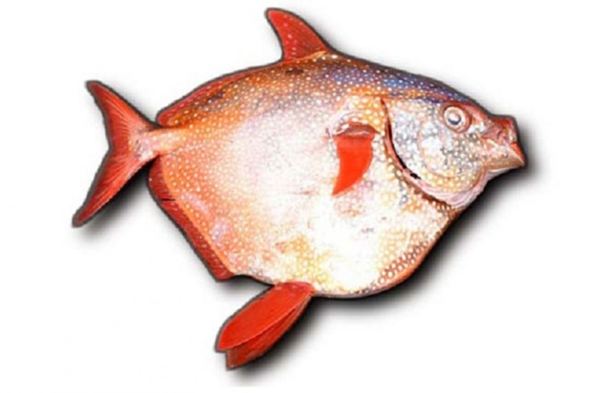 Warm blooded fish found deep in the ocean jordan times for Warm blooded fish